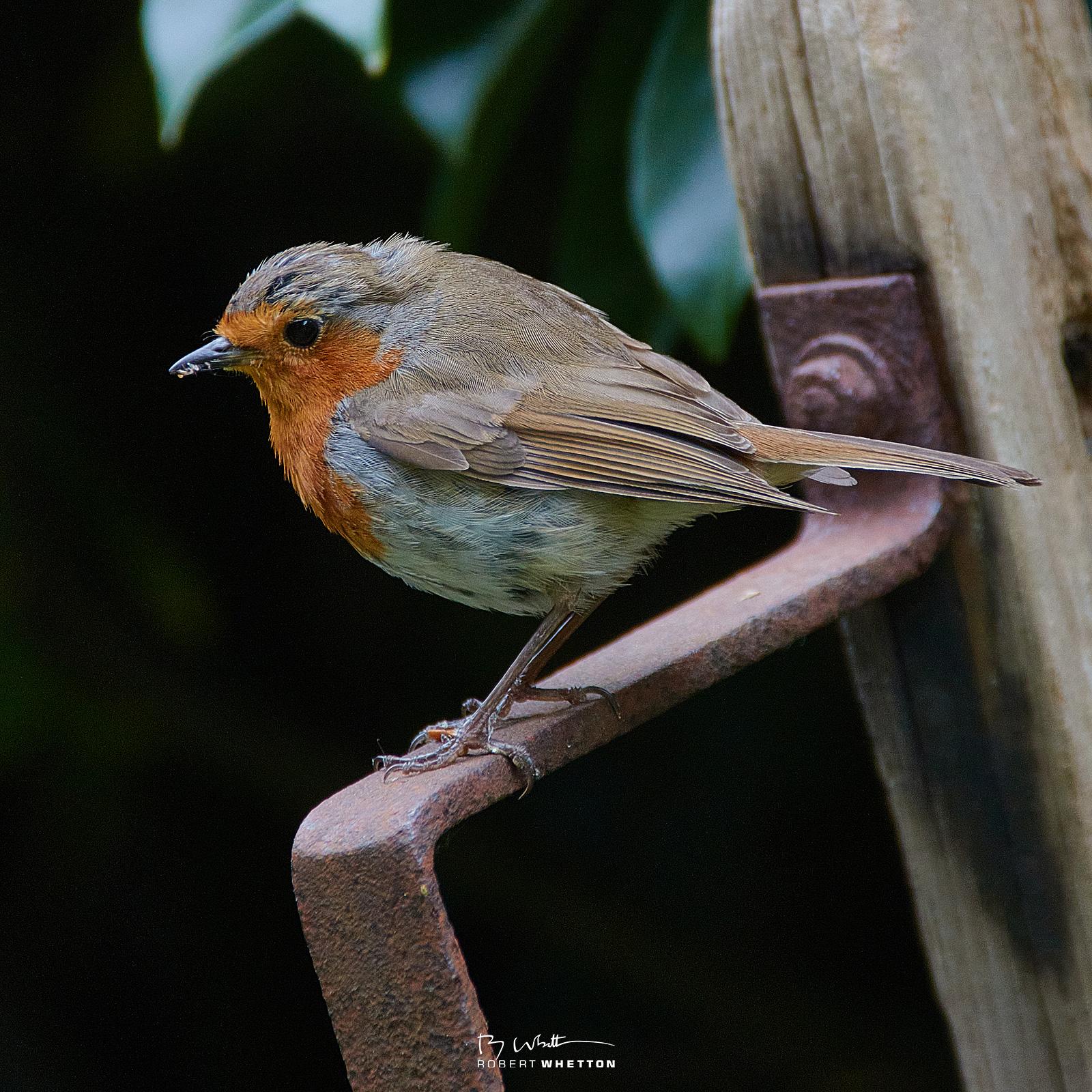 IMAGE: https://photographs.rjwhetton.co.uk/forums/Robin-Jun-04-142615-5805-7D-Mark-II.jpg